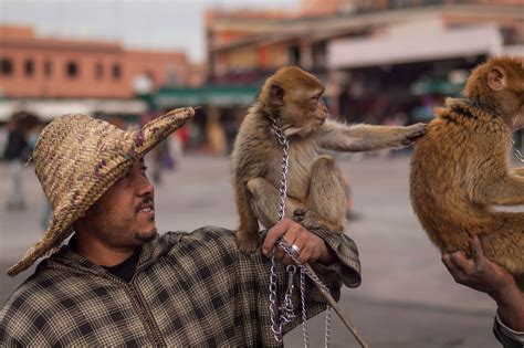 Saving Morocco's macaques: More than just monkey business