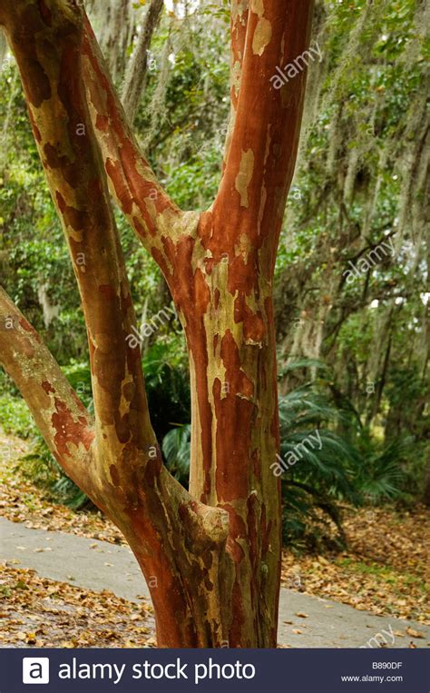multi colored trunk of the Crape Myrtle tree Lagerstroemia