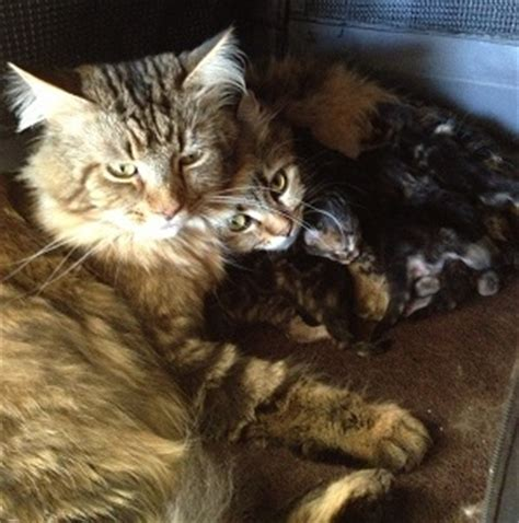 Maine Coon Kittens For Sale - Litter WES3