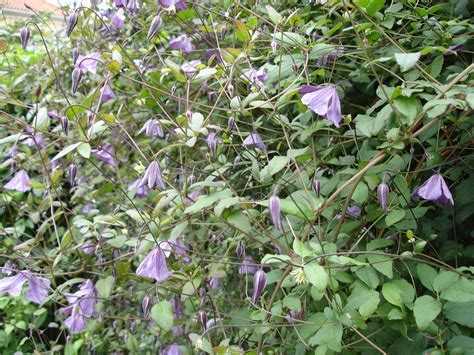 Klematisz viticella - clematis viticella are excellent for