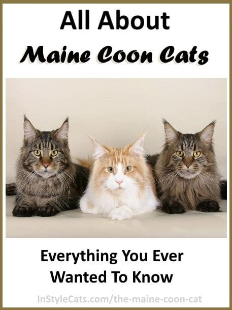 All About The Maine Coon Cat