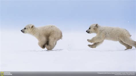 polar bear-National Geographic Wallpaper Preview